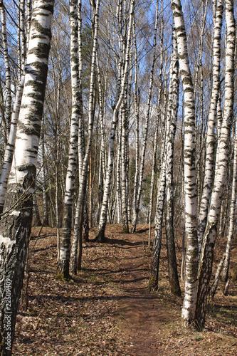 Deurstickers Berkbosje Birch wood in the early spring after rain
