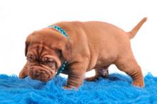Dogue De Bordeaux Pupp Is Only...