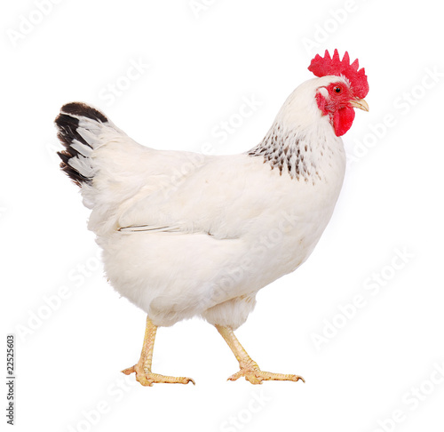 Photo white hen profile, isolated on white