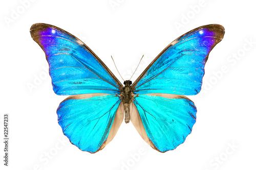 Fotografie, Obraz  Butterfly, Morpho Rhetenor Eusebes, wingspan 116mm