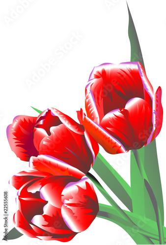 trzy-jaskrawego-bordo-kwitna-tulipanu-z-zielonymi-liscmi