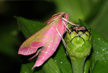 Pink Hawk Moth (Deilephila Elpenor)