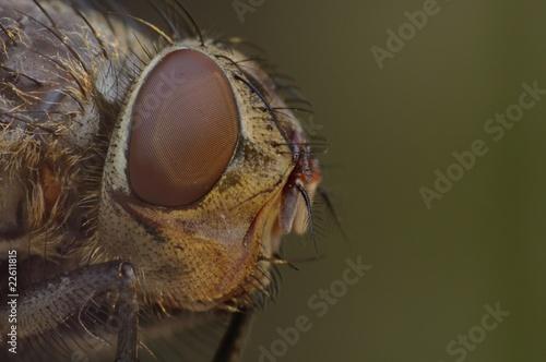 Fototapeta głowa muchy obraz