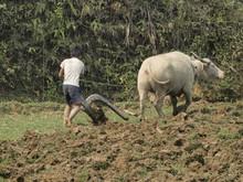 Arando Con Bufalo En Vietnam