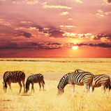 Fototapeta Sawanna - Zebras