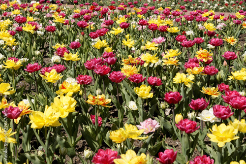 Foto auf Gartenposter Tulpen Tulpenmeer v5