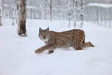 A Female Lynx Running