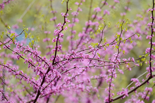 Fotografie, Obraz  Redbud Flowers and Green Leaves