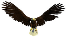 American Bald Eagle Front