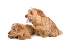 Two Norfolk Terrier Dogs Isola...