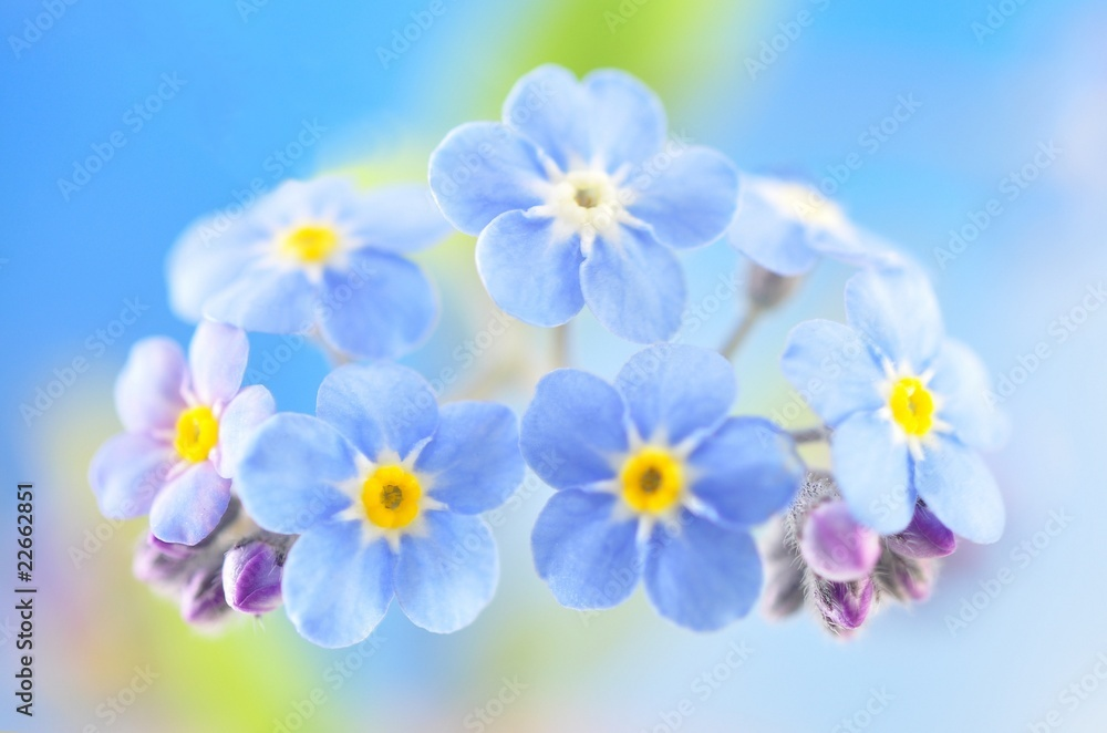 Fototapety, obrazy: Forget Me not