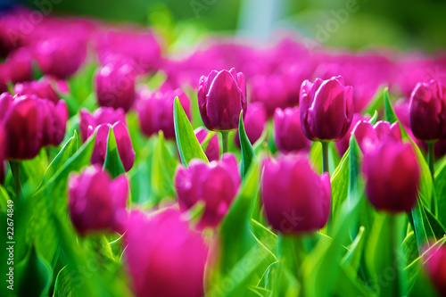 Tulips - 22674849