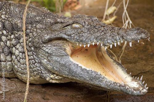 Photo Stands Crocodile Nilkrokodil mit offenem Mund