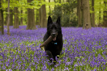 Black Dog In Bluebells Woods