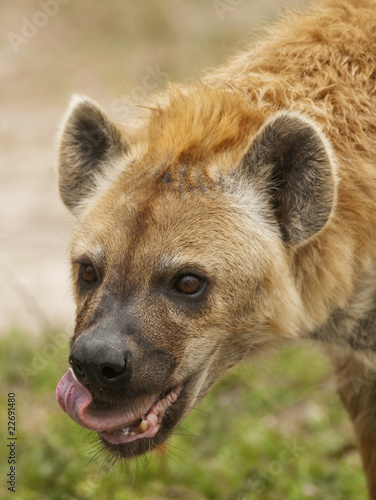 Deurstickers Hyena Hyena Eating