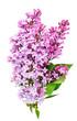 lilac twig