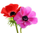 Beautiful anemone flowers on white with copy space.