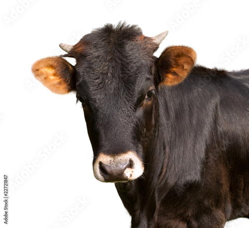 фотография  black calf with white background