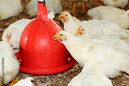 Fotografie, Obraz  élevage de poules blanches