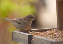 British Sparrow On Feed Table