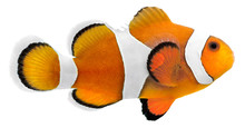 Clown Fish (Amphiprion Ocellar...