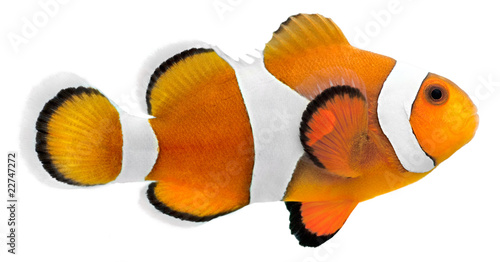 Fotomural  Clown fish (Amphiprion ocellaris)