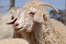 Adult Angora Goat