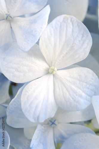 Fototapeta premium Jasnoniebieskie kwiaty hortensji