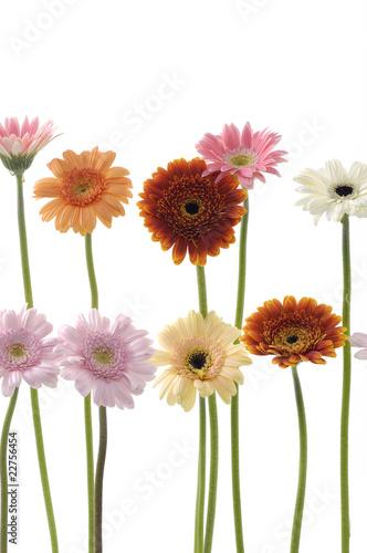 Ingelijste posters Gerbera Long stem colorful sunflower