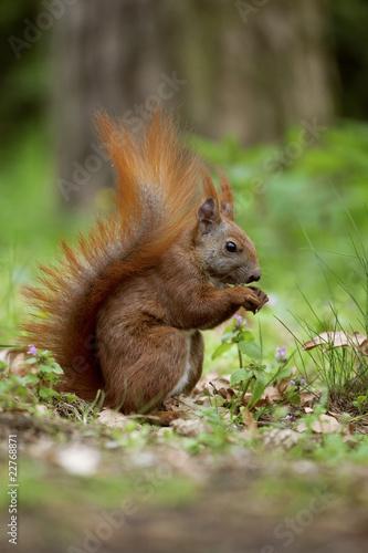 Tuinposter Eekhoorn eichhörnchen