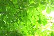 Leinwandbild Motiv Chestnut foliage