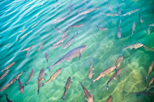 Trout Fish In Emerald-green Water In Ray Of Light