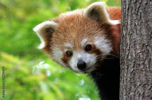 In de dag Panda Roter Panda