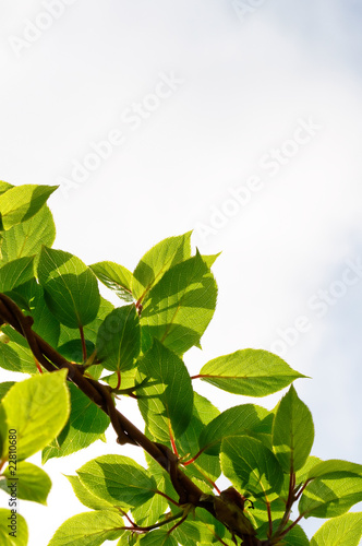 Actinidia Twigs on Sky Background Canvas Print