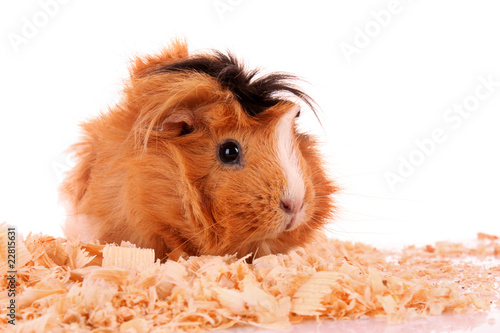 Fotografie, Obraz  funny brown cavy in sawdust on white background