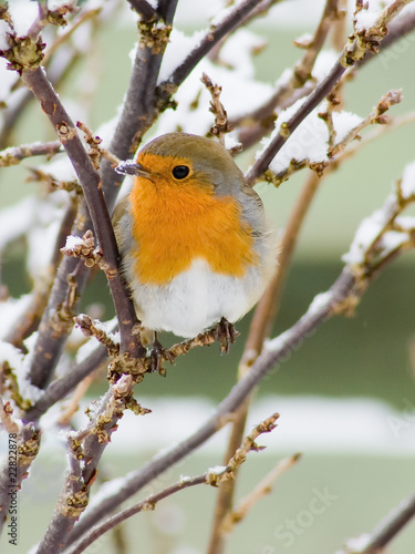European red robin and snow perched in a bush with snow on the beak and a garden Poster