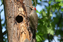 Northern Flicker Male(yellow S...