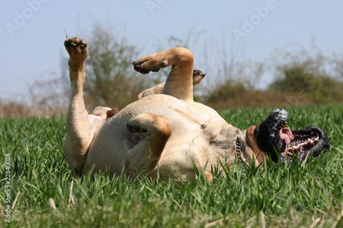Fotografie, Obraz  mastiff en train de se rouler dans l'herbe