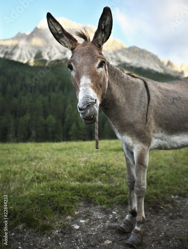 Tablou Canvas cute & funny donkey  standing outdoors on a farmland and staring