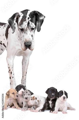 Fototapeta great dane dog looking at  the cute puppies obraz