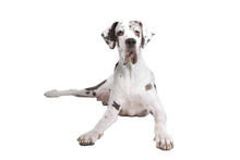 Front View Of A Great Dane Dog...