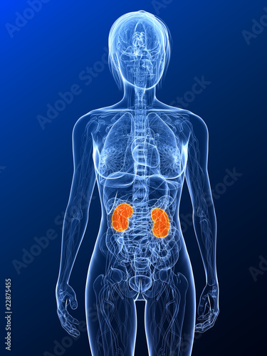 Vászonkép  transparenter Körper mit markierten Nieren