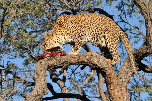 Keuken foto achterwand Luipaard Namibia - Leopard in a tree