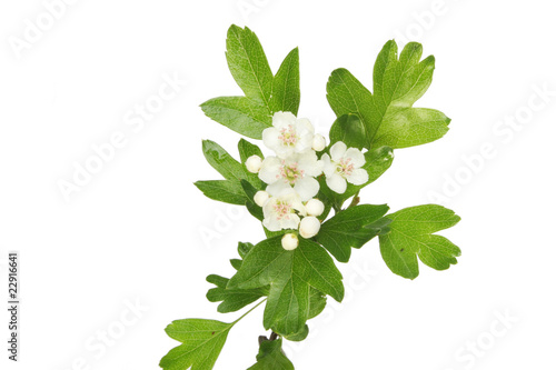 Fototapeta May blossom