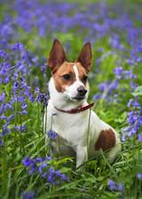 Jack Russell Terrier Among Blu...