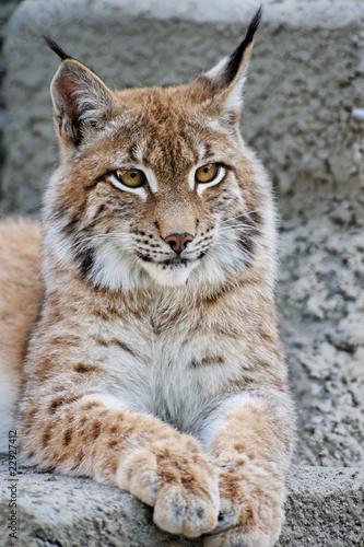Foto op Canvas Lynx Lynx