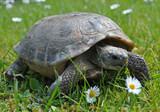 Żółw na polanie
