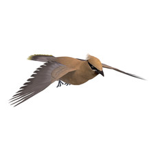 Cedar Waxwing. 3D Rendering With Clipping Path And Shadow Over W