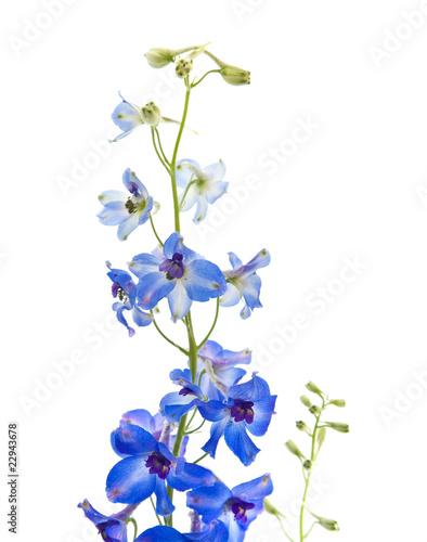 Foto bright blue delphinium flowe