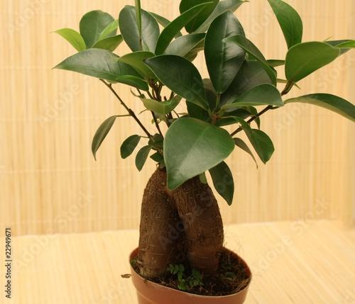 Asiatische Zimmerpflanze Buy This Stock Photo And Explore Similar